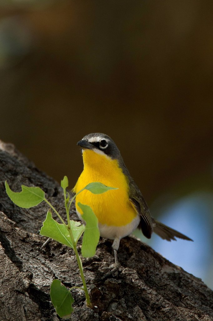 Stock Photo: 1990-70090 Yellow Breasted Chat, Icteria virens, Arizona, USA