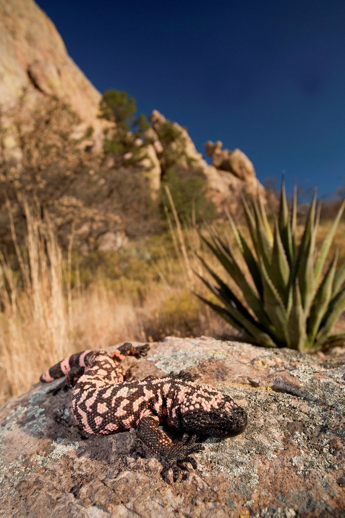 Stock Photo: 1990-70180 Reticulate Gila Monster, Heloderma suspectum, Arizona, USA
