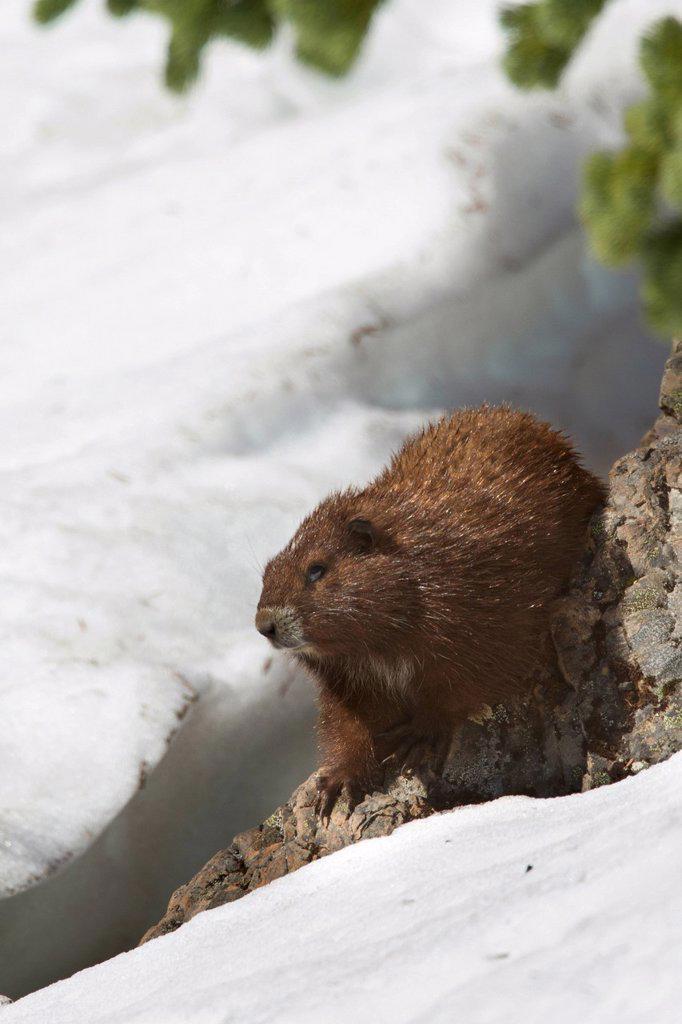 Vancouver Island Marmot, Marmota Vancouverensis, Vancouver Island, BC, Canada : Stock Photo