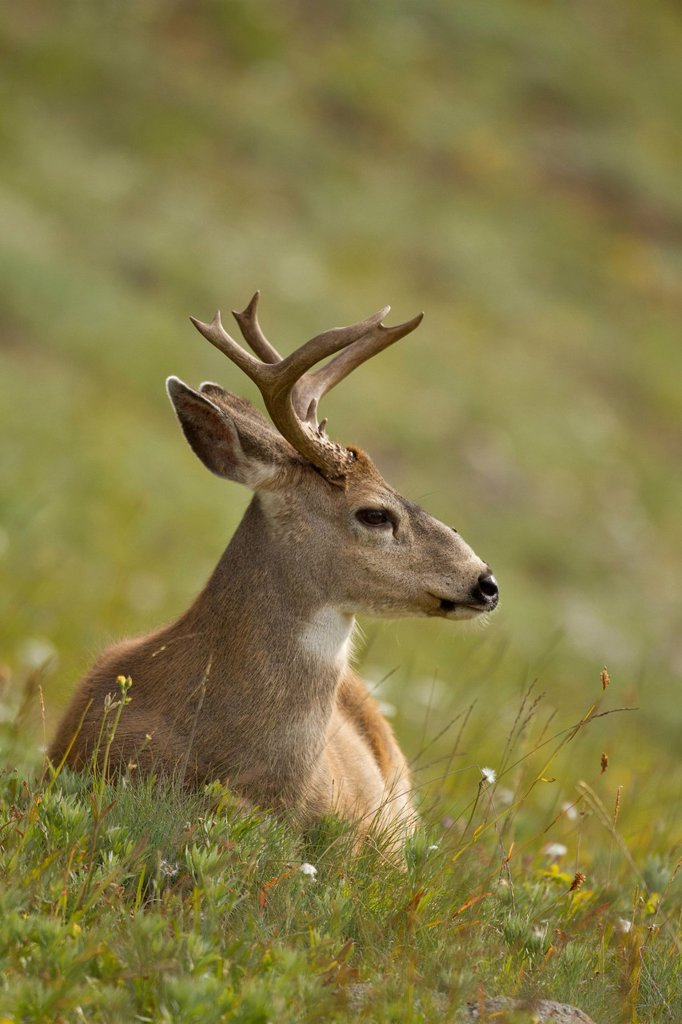 Stock Photo: 1990-70461 Mule deer, Odocoileus hemionus, Olympic National Park, Washington, USA