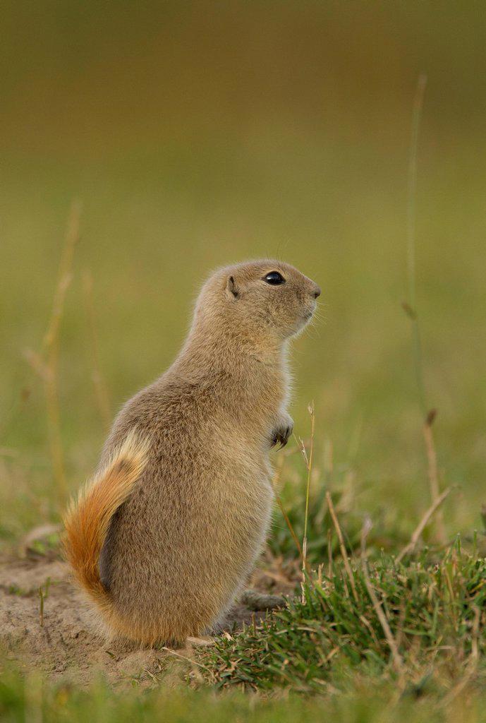 Stock Photo: 1990-70526 Richardson´s Ground Squirrel, Urocitellus richardsonii, Elk Island National Park, Alberta, Canada