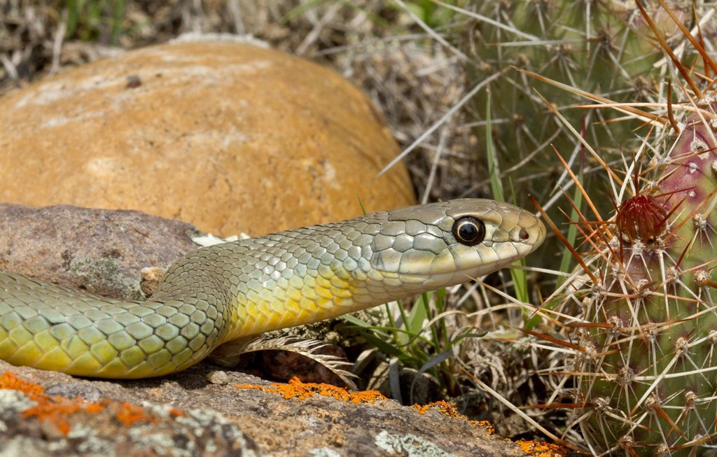 Stock Photo: 1990-70584 Eastern Racer, Coluber constrictor, Saskatchewan, Canada