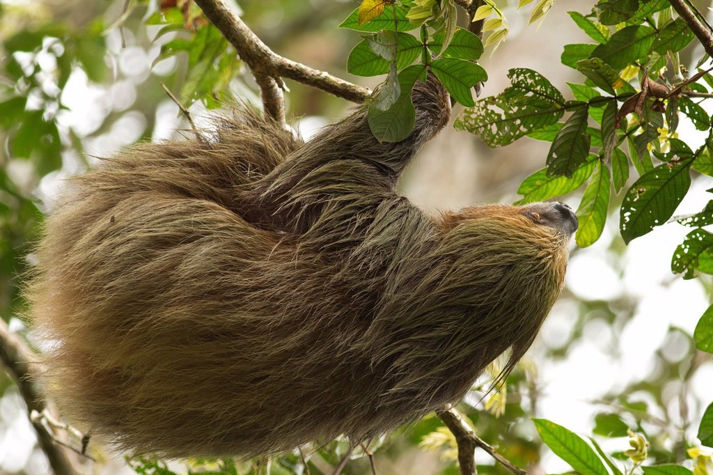Linnaeus´s two_toed sloth, Choloepus didactylus, Rio Napo, Amazon Basin, Ecuador : Stock Photo
