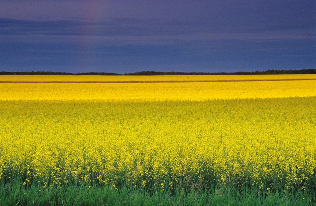 Canola fields north of Selkirk, Manitoba, Canada : Stock Photo