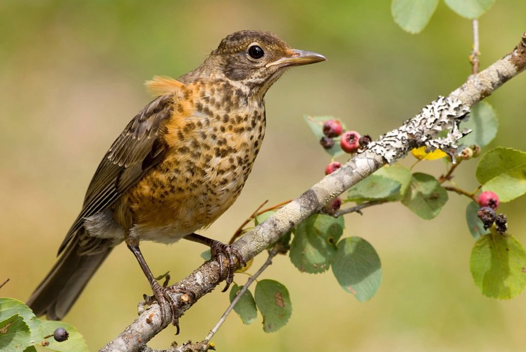 American Robin, British Columbia, Canada : Stock Photo