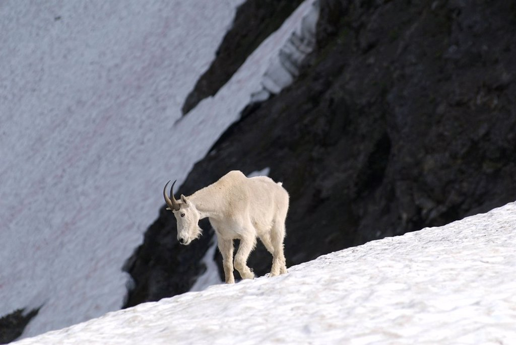 A Mountain Goat on the steep slopes in the Cascade Mountains, British Columbia, Canada : Stock Photo
