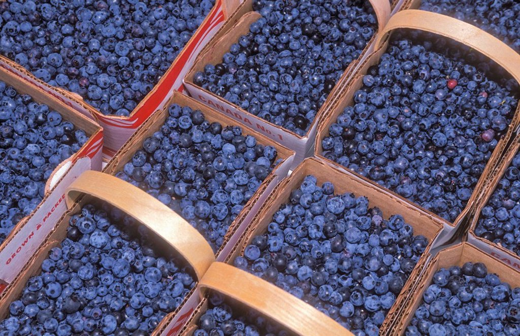 Stock Photo: 1990-7803 Blueberries are a plentiful and celebrated harvest in August in the Lac-Saint-Jean region of Quebec, Canada