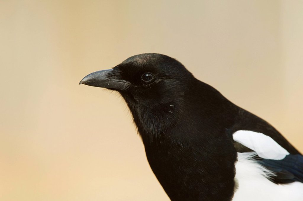 Stock Photo: 1990-8018 Black-billed Magpie Pica pica Adult  Magpies are frequently shot because they steal grain but since the most important items in their diet seems to be insects and small rodents they are more beneficial than destructive to agriculture  Waterton Lakes Natio
