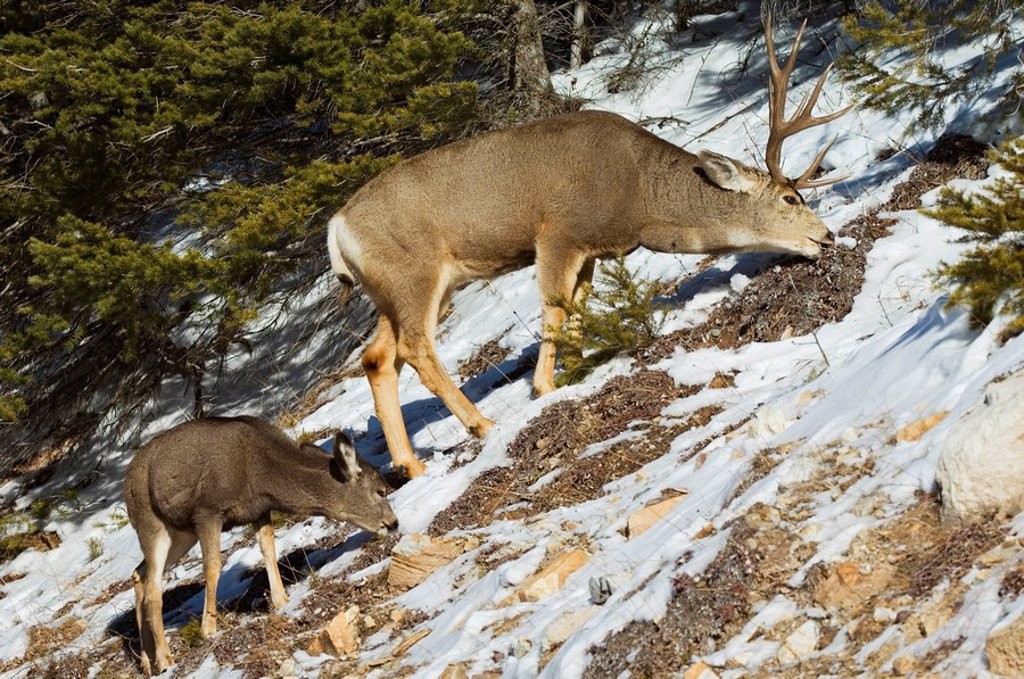 Mule Deer Odocoileus hemionus Male  Fawn grazing nearby  Mature males can weigh up to 475 pounds  Waterton Lakes National Park, southwest Alberta, Canada : Stock Photo