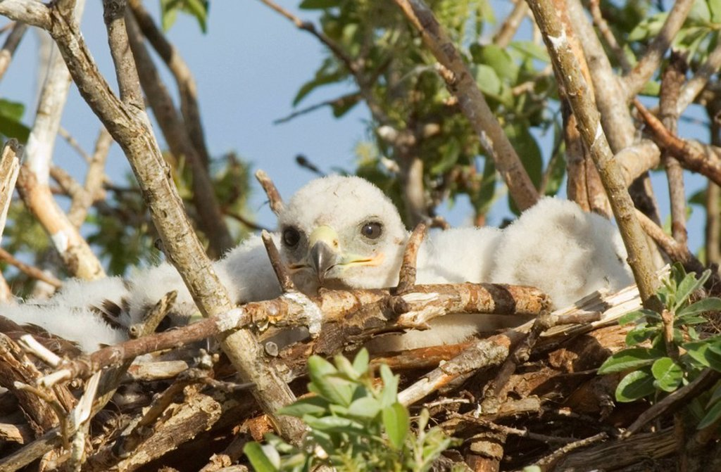 Stock Photo: 1990-8052 Ferruginous Hawk Buteo regalis Nestlings  A hawk of open dry country of western Untied States and western Canada  Becoming rare these hawks are one of the most powerful of the buteos with a long wingspread of 56 inches  West of Cardston, southwest Alberta