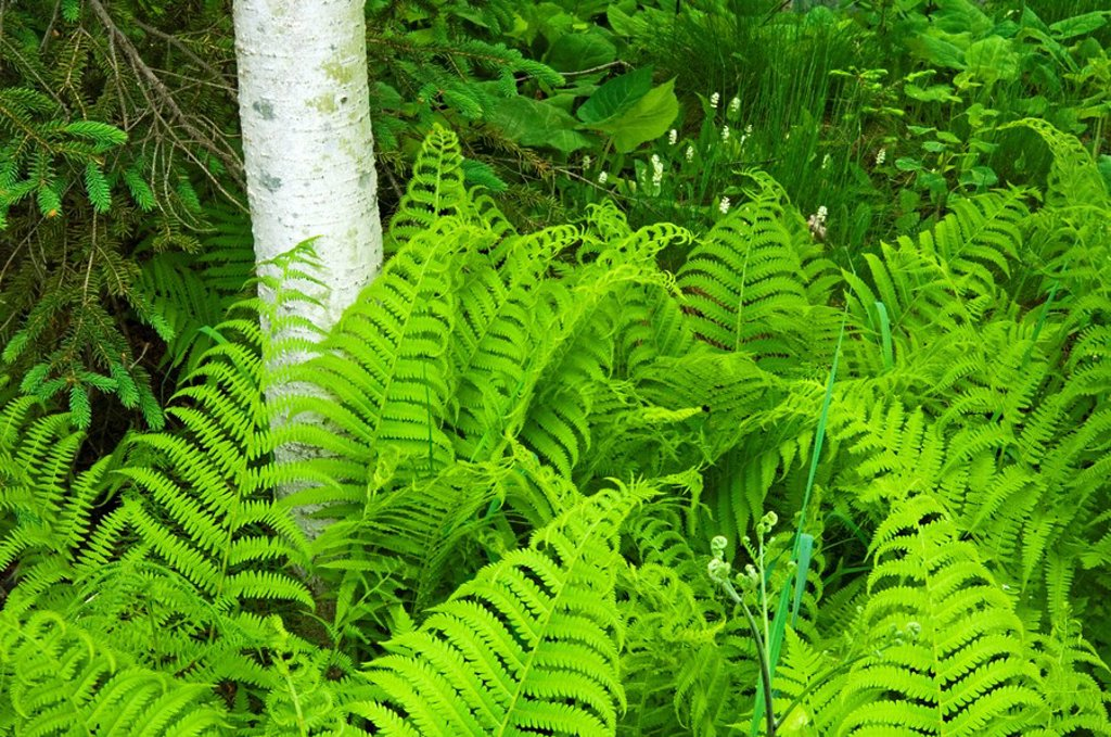Wood fern, ryopteris spp  and aspen tree trunks, Lively, Ontario, Canada : Stock Photo