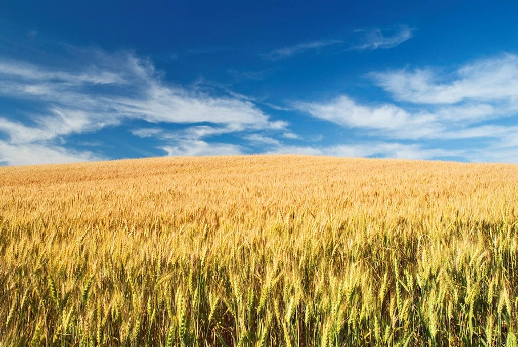 Winter wheat field, Thornton, Ontario, Canada : Stock Photo