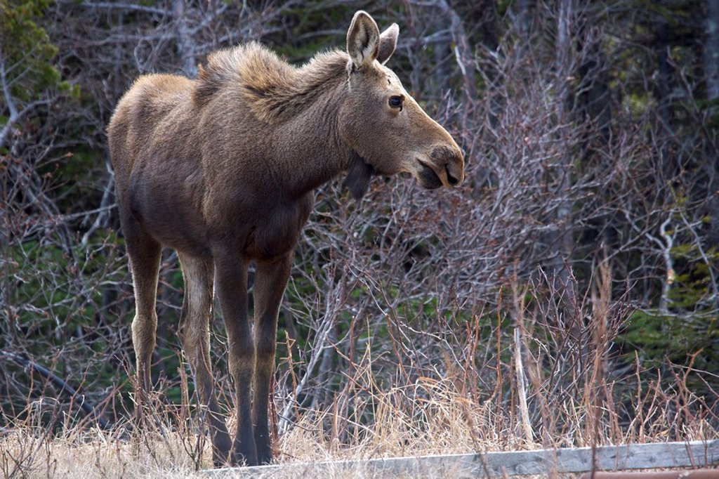 Moose, Alces alces, grazing in a property in St Lunaire-Griquet, Viking Trail, Great Northern Peninsula, Newfoundland & Labrador, Canada : Stock Photo