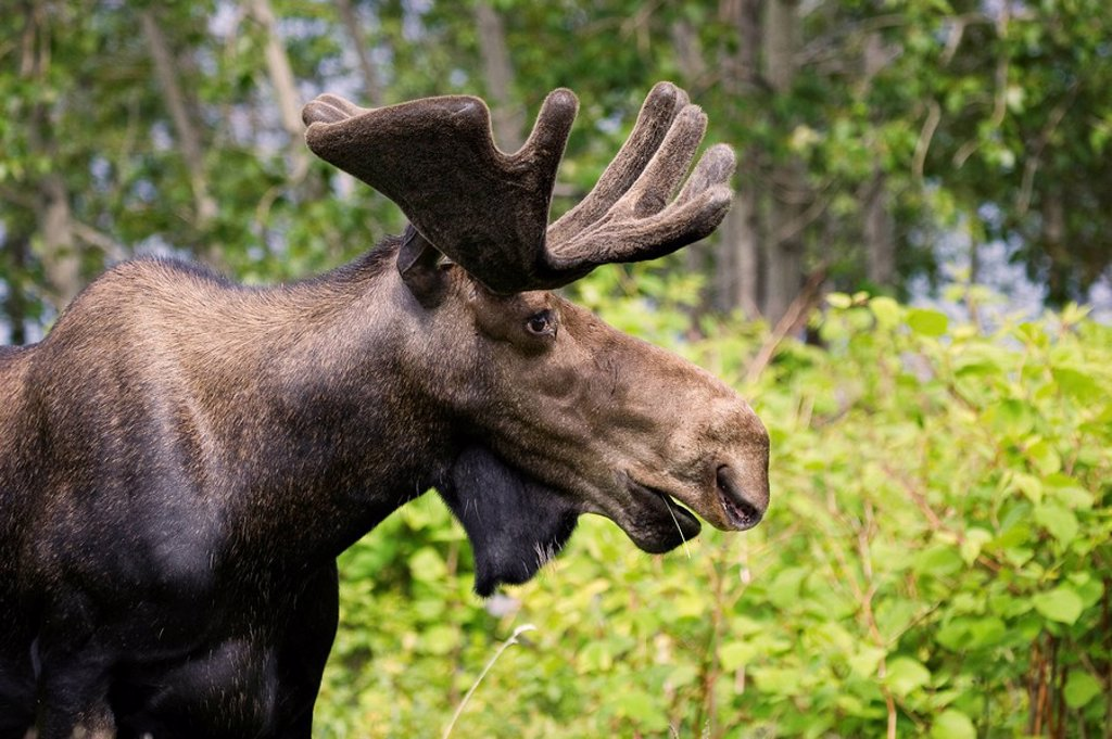 Stock Photo: 1990-8793 Profile of a large Bull Moose Aces aces showing the large dewlap under his chin with velvet antlers in Gros Morne National Park, Newfoundland and Labrador, Canada