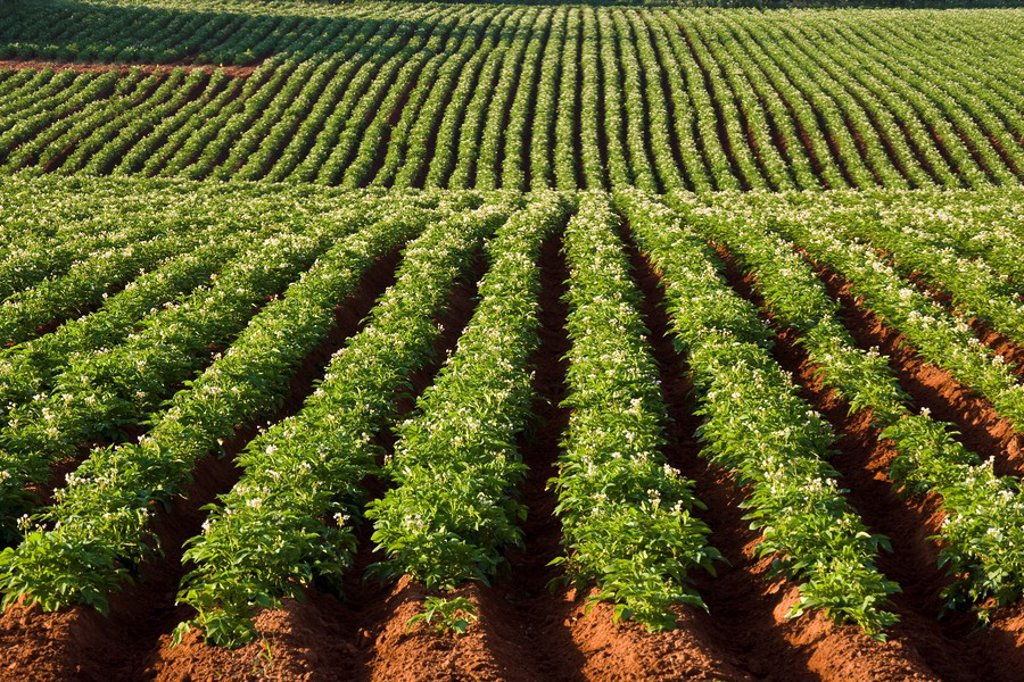 Potato field near Malpeque, Prince Edward Island, Canada : Stock Photo