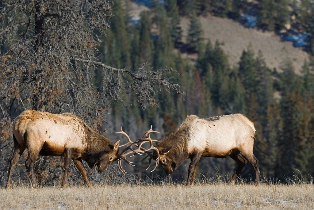 A fight for supremacy among two bull Elk near Jasper, Alberta, Canada : Stock Photo