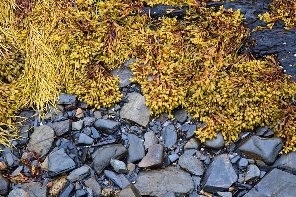 Stock Photo: 1990-9677 Kelp at low tide Blue Rocks, Nova Scotia, Canada