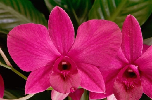 Stock Photo: 2003-1436 Orchids