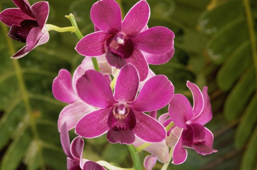 Stock Photo: 2003-1487 Close-up of orchids