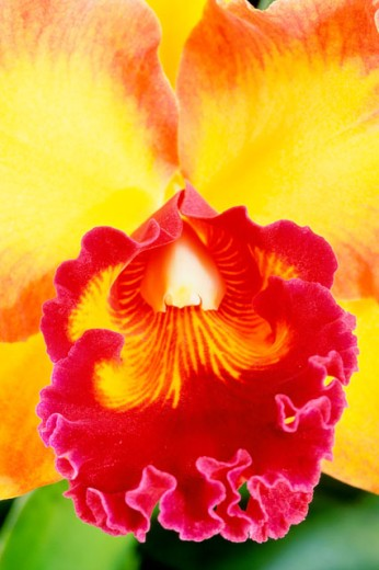 Stock Photo: 2003-1555B Close-up of an orchid