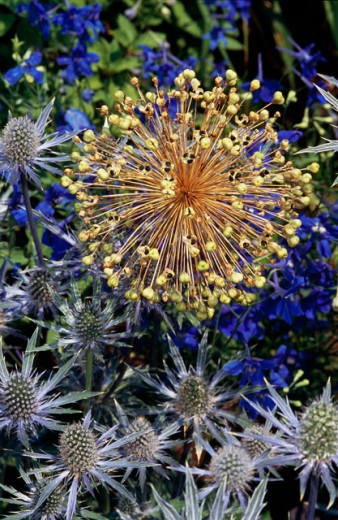 Stock Photo: 2003-1607 Close-up of Sea Holly with Purple Splendors