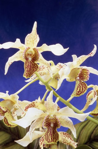 Stock Photo: 2003-1609 Close-up of orchids