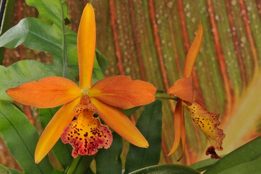 Stock Photo: 2003-1639 Close-up of hybrid Blc. Copper Queen orchid flowers