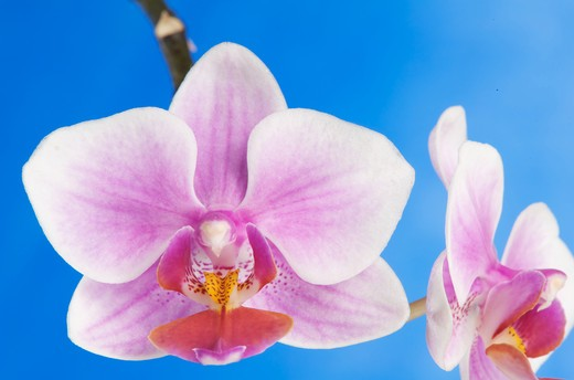 Stock Photo: 2003-1728 Close-up of Phalaenopsis orchids