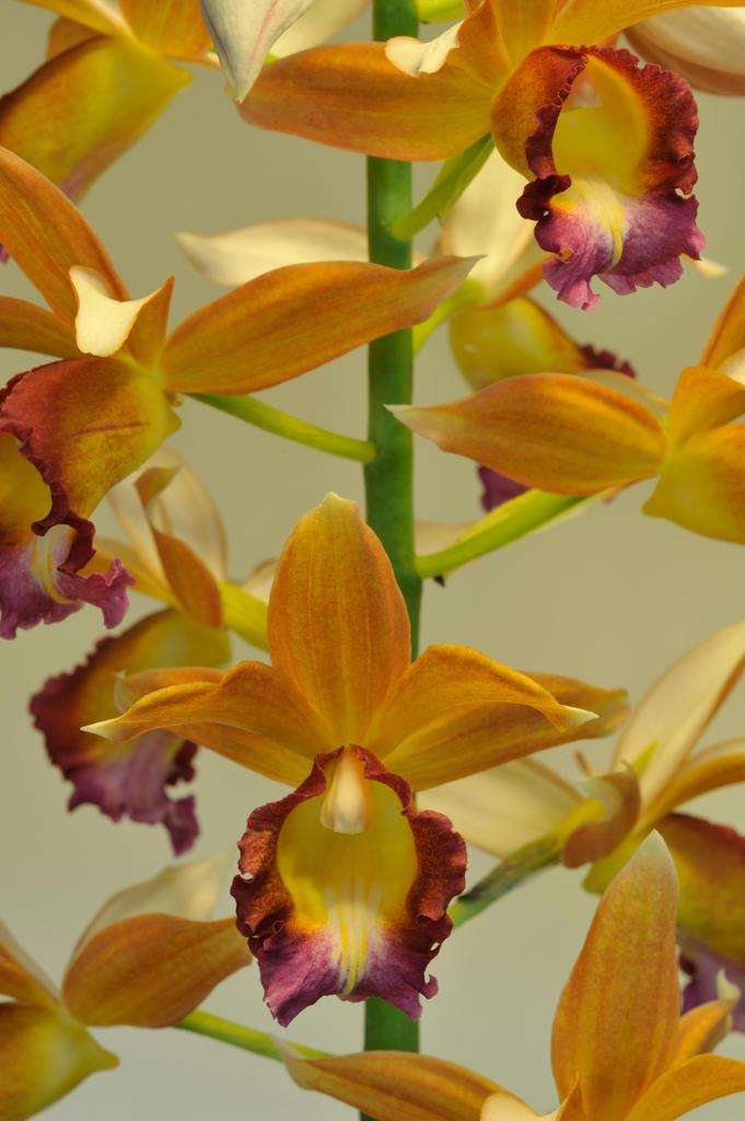 Stock Photo: 2003-1730 Close-up of Phaius Dan Rosenberg orchids