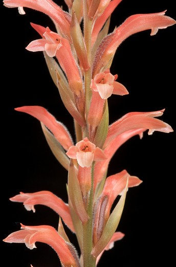 Stock Photo: 2003-1740 Close-up of Stenosarcos Vanguard orchids