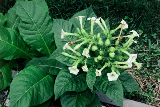 Stock Photo: 2003-357 Tobacco Plant