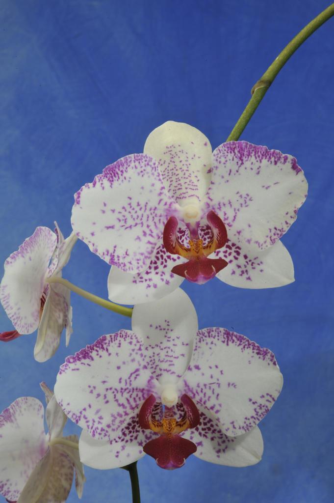 Stock Photo: 2003-602467 Close up of Phalaenopsis hybrid on blue background