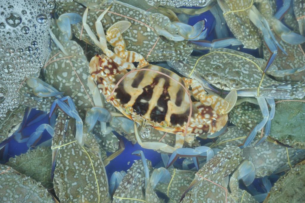 Thailand, Chon Buri, Ban Saen, Nongmun Market, Close up of crabs sold live : Stock Photo