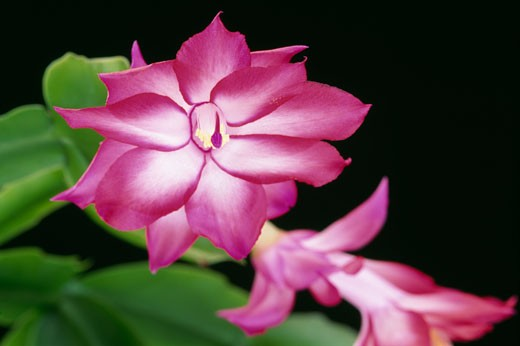 Stock Photo: 2003-809 Thanksgiving Cactus