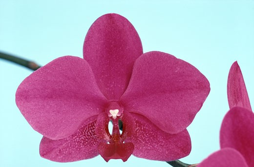 Stock Photo: 2003-867 Detail of an orchid flower