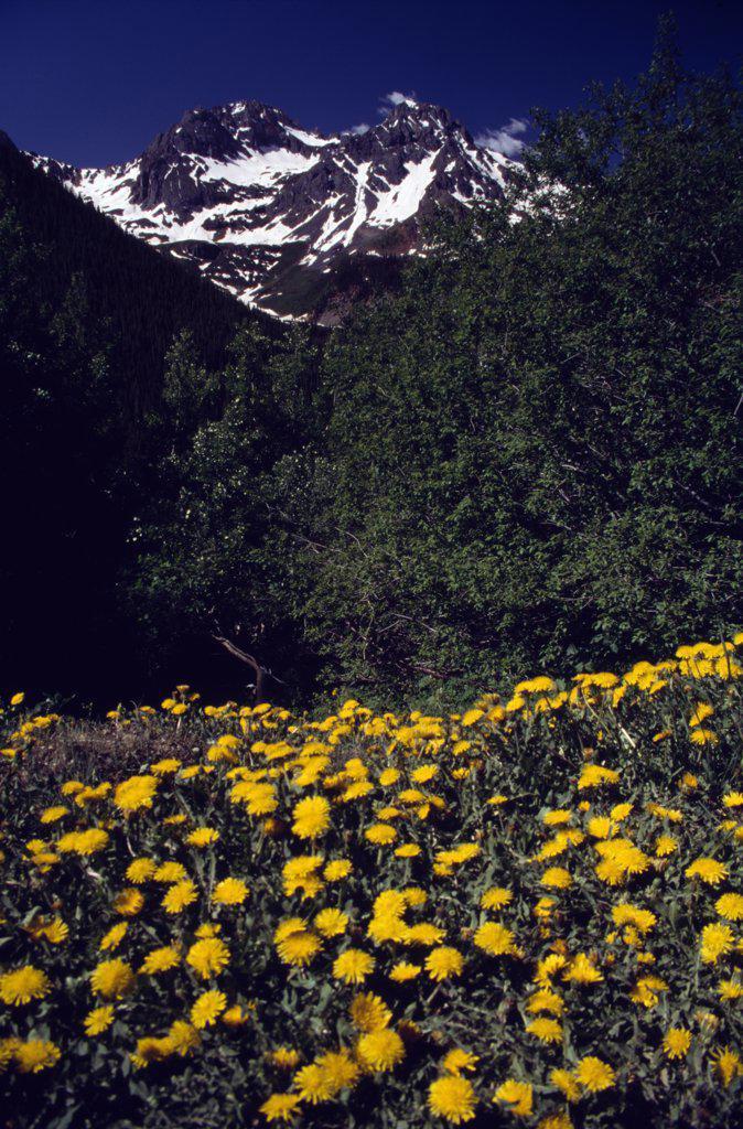 Stock Photo: 2005-1603 Uncompahgre National Forest Colorado USA