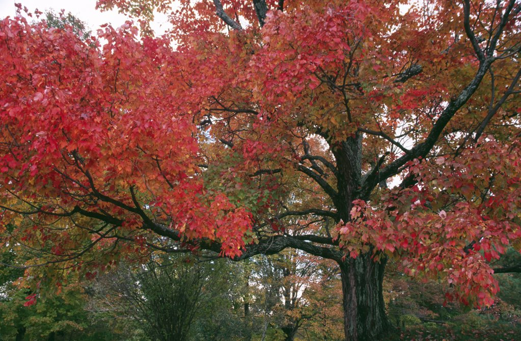 Stock Photo: 2005-1701 Sugar Maple