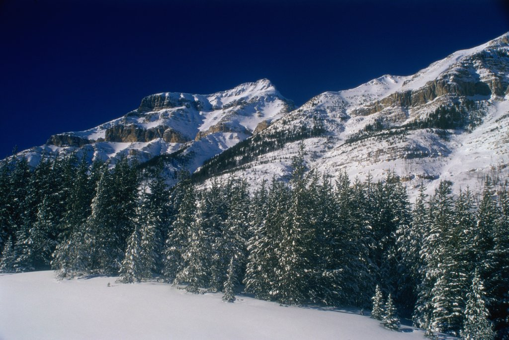 Pine trees in front of snowcapped mountains, Vermillion Pass, Banff National Park, Alberta, Canada : Stock Photo