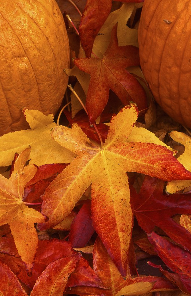 Two pumpkins on autumnal maple leaves : Stock Photo