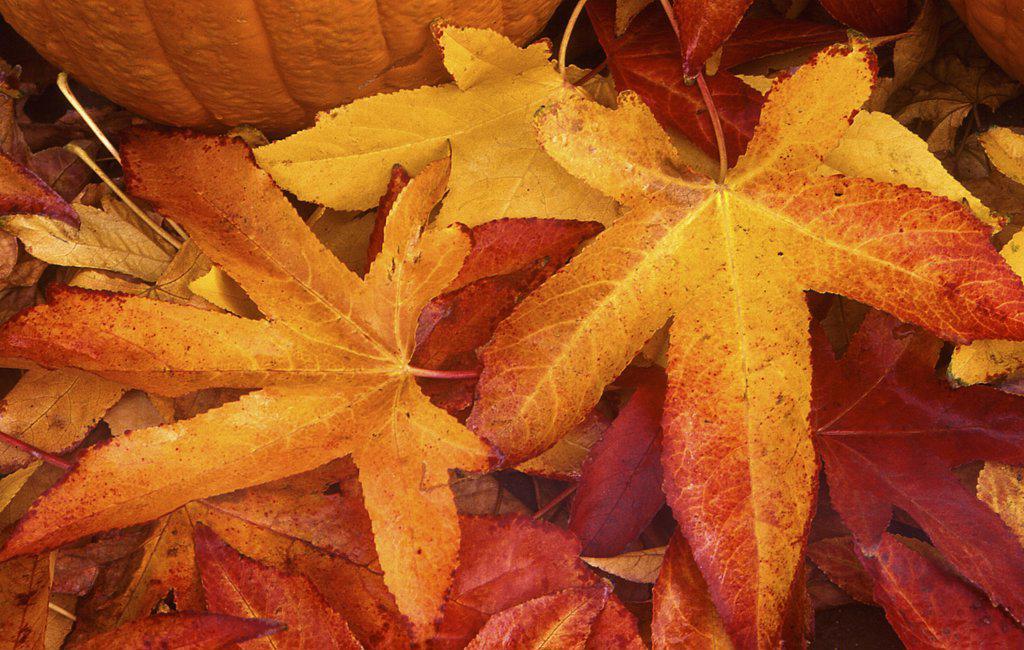 Pumpkin on autumnal maple leaves : Stock Photo