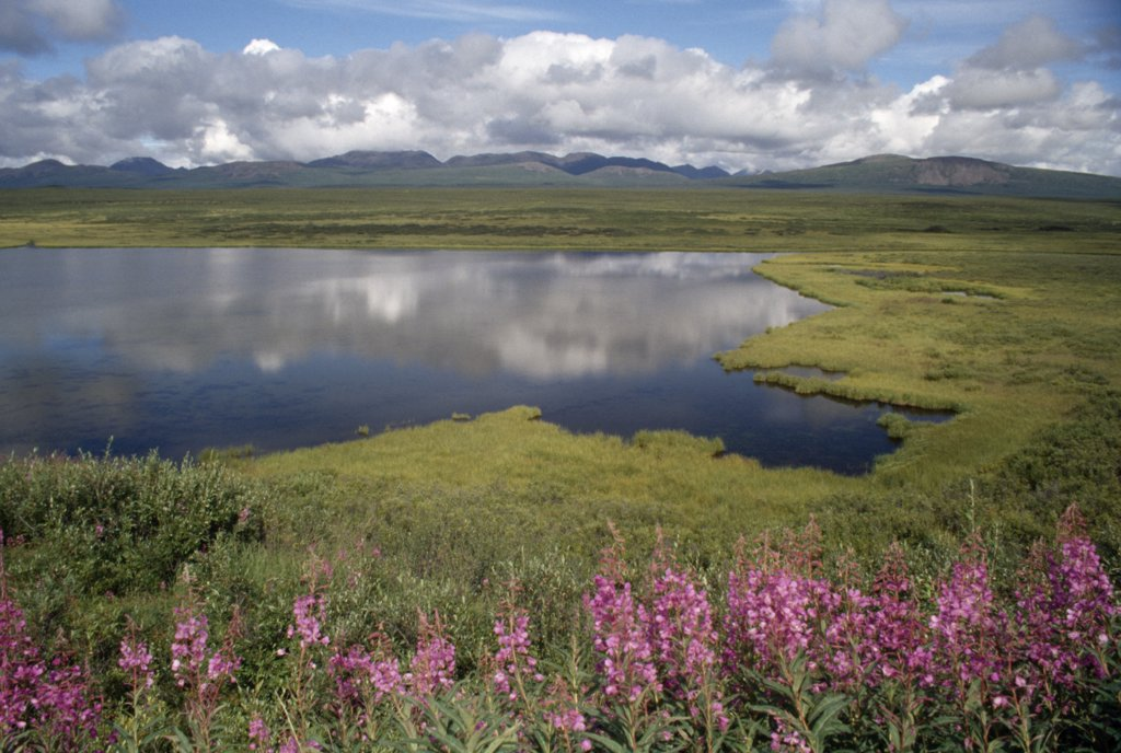 Wildflowers at the lakeside, kettle Lake, Denali Highway, Alaska, USA : Stock Photo