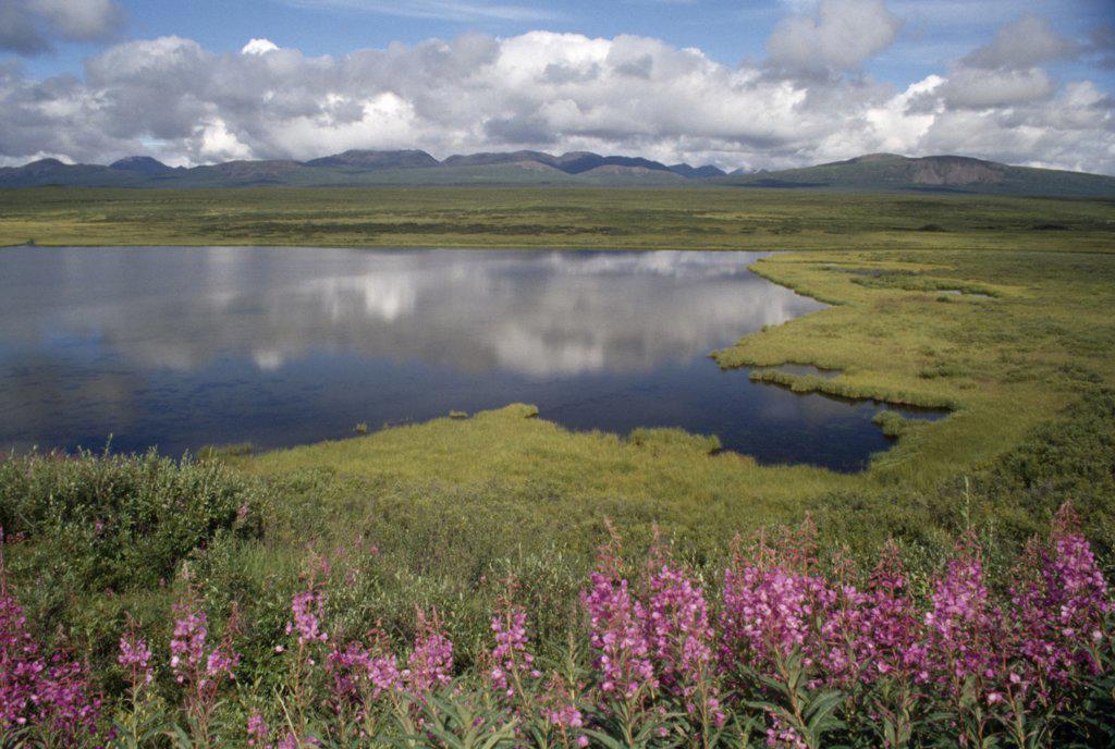 Stock Photo: 2005-272A Wildflowers at the lakeside, kettle Lake, Denali Highway, Alaska, USA