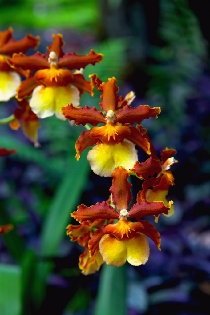 Stock Photo: 2005-594536 Close-up of orchid flowers, Big Island, Hawaii, USA