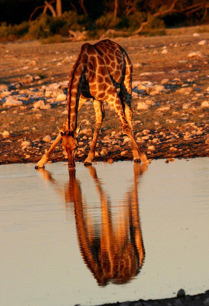 Stock Photo: 2005-594621 Giraffe (Giraffa camelopardalis) drinking water, Botswana