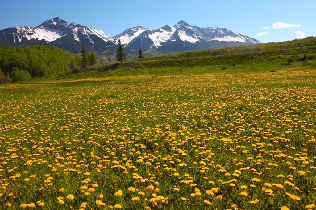 USA, Colorado, Uncompahgre National Forest, San Miguel Range above field of yellow flowers : Stock Photo