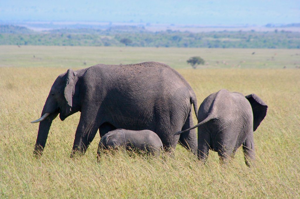 Stock Photo: 2005-594837 Kenya, Masai Mara Game Reserve, African Bush Elephant (Loxodonta africana) cow and calves