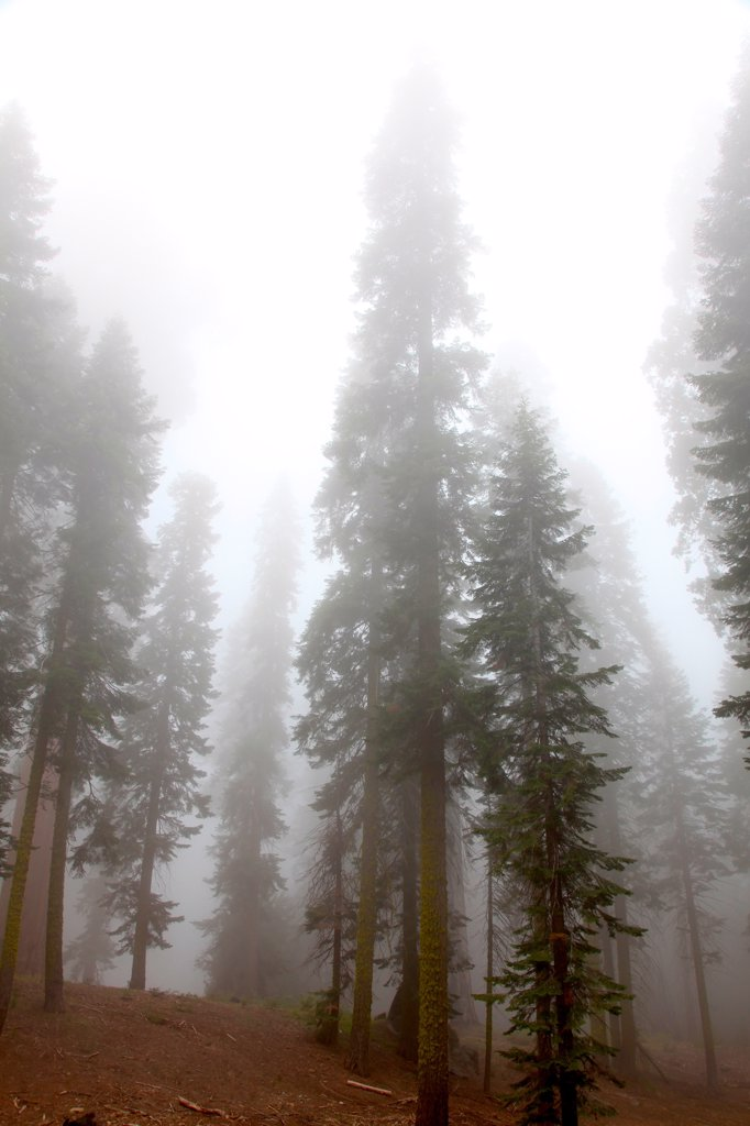 Stock Photo: 2005-595074 USA, California, Sequoia National Park, Grants Forest Area, Giant Sequoias shrouded in fog
