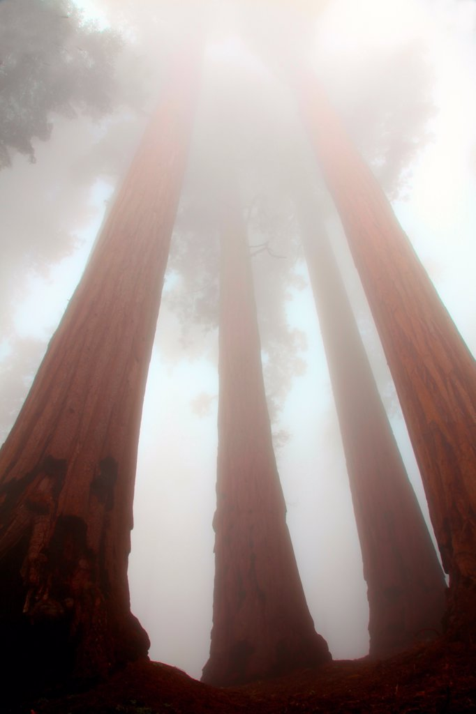 USA, California, Sequoia National Park, Grants Forest Area, Giant Sequoias shrouded in fog : Stock Photo