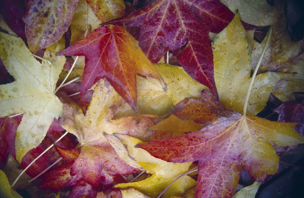 Stock Photo: 2005-888A Close-up of maple leaves
