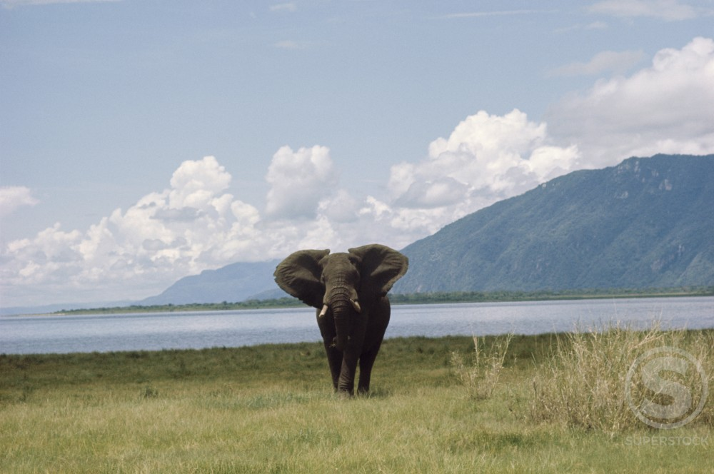 Stock Photo: 201-334 Wild African Elephant, Kenya